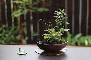 舟形の鉢に入ったヒトツバショウマの咲き始めた山野草盆栽とカエルの置物