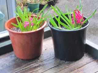 two large-ish pots with lots of long straight green leaves and clusters of hot pink flowers.