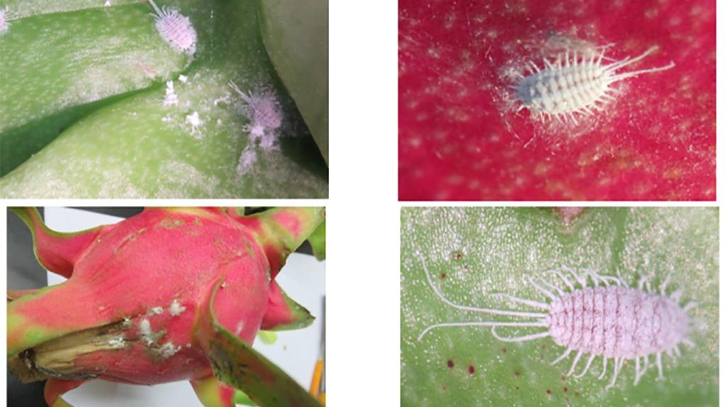 Cục Bảo vệ vừa khuyến cáo các doanh nghiệp, địa phương chú trọng loại bỏ rệp sáp ở hoa quả trước khi xuất sang Trung Quốc. Ảnh: Cục BVTV cung cấp