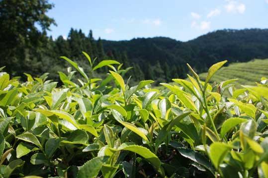 Manfaat teh hijau untuk kecantikan
