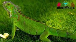 Green Iguana atau iguana Amerika reptil unik untuk dipelihara