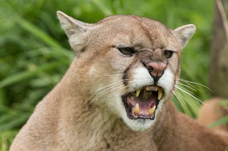 Mountain lion attacks 4 year old girl