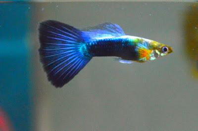 Ikan Guppy Jepang Biru