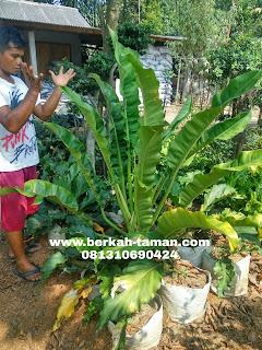 tanaman hias philo pisang