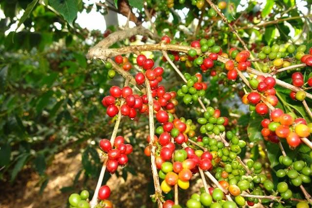 Giá cà phê hôm nay 26/5: Đồng loạt tăng mạnh 200 đồng/kg