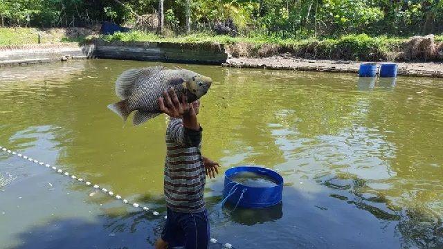 Hama Ikan Gurame
