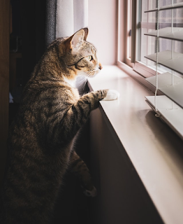 A tabby cat is looking out a window