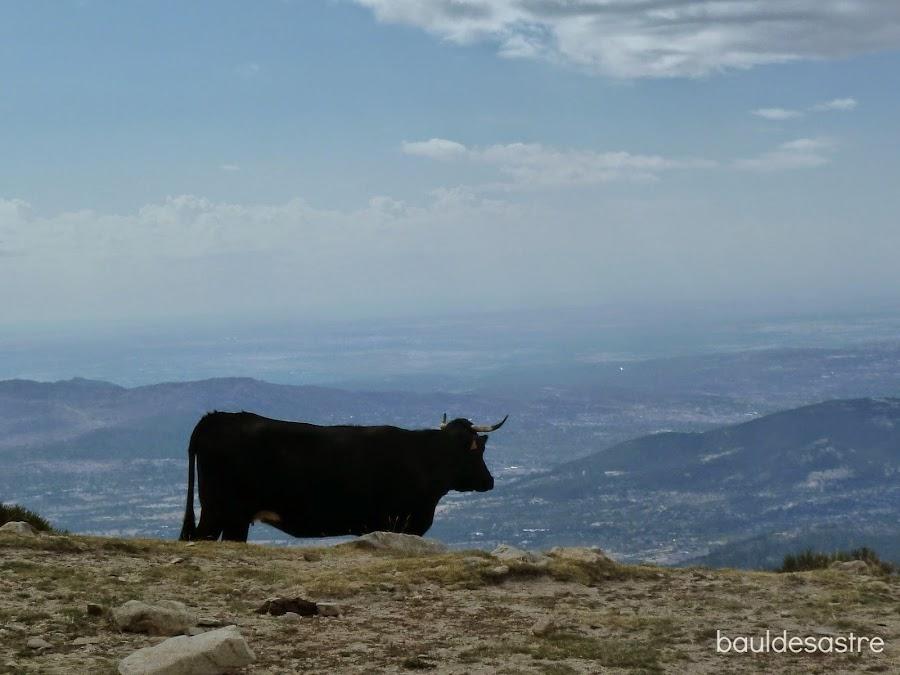 vaca serrana