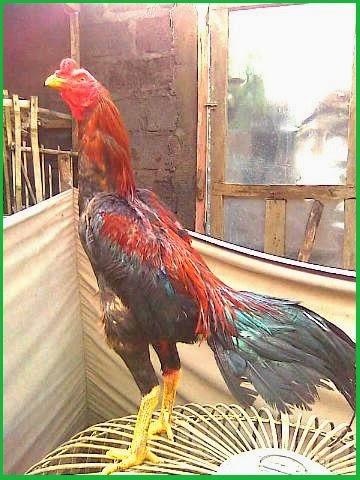 ayam bangkok super, jual ayam bangkok, cara merawat ayam bangkok aduan, harga ayam bangkok, ayam bangkok istimewa, gambar ayam bangkok, ayam bangkok blitar, ayam bangkok aduan