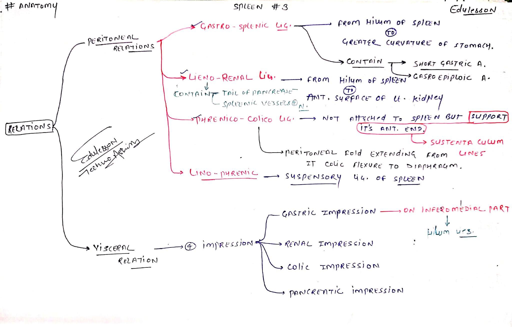 Anatomy of Spleen 3 - Peritoneal Relation, Visceral Relation (EduLesson)