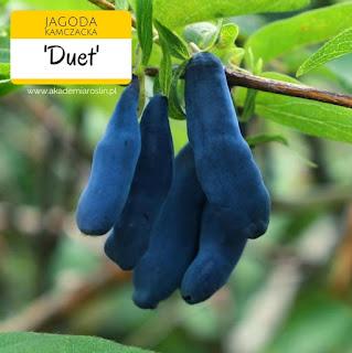 Owoce jagody kamczackiej odmiany Duet