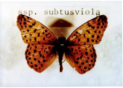 Mariposa ana del sur (Yramea cyethris)