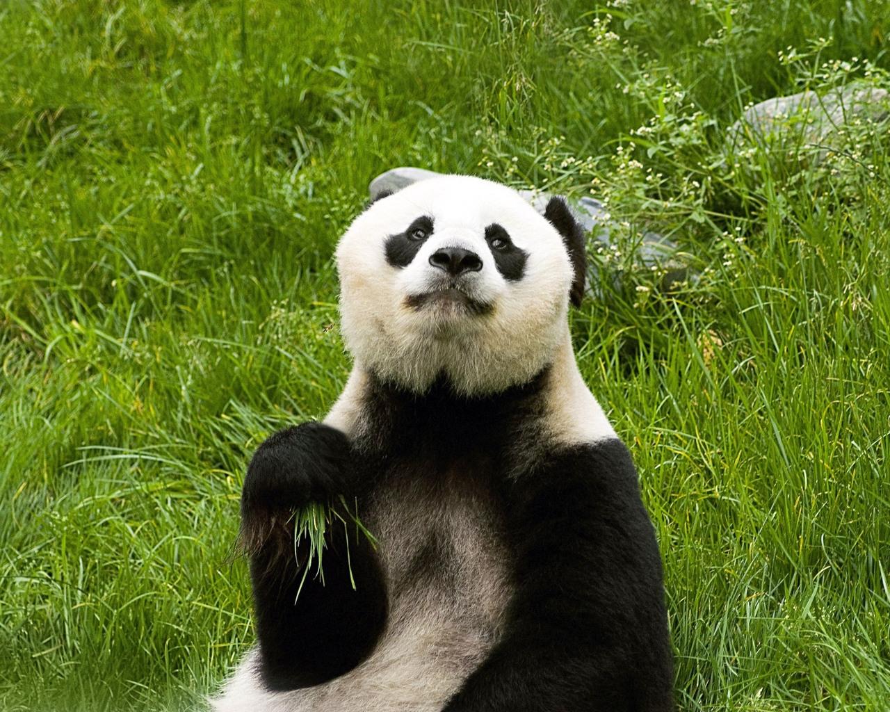 Panda Beautiful Cool Hd Wallpaper 2013 | Beautiful And ...