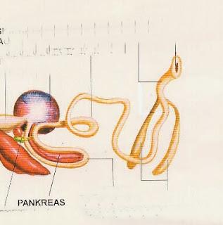 pankreas ayam