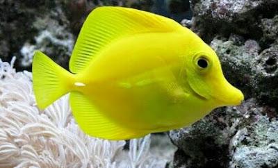 ikan hias yellow tang