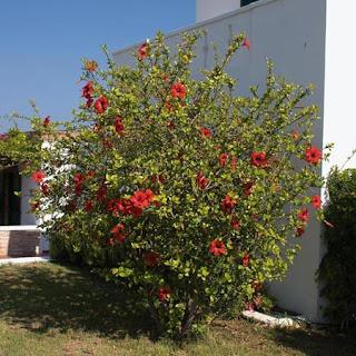 Atualmente,  a flor do hibisco é bastante conhecida em forma de chá. Mas essa, trata-se da planta usada para fins medicinais, retirada da flor identificada como Hibiscus Sabdariffa.
