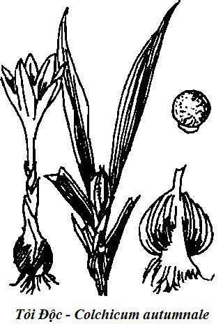 Hình vẽ Tỏi Độc - Colchicum autumnale - Nguyên liệu làm thốc Có Chất Độc