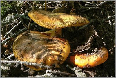 Amanita caesarea en terreno arenoso