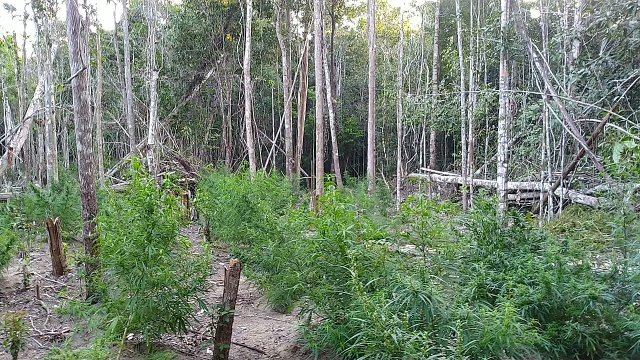 Plantação com 1,5 mil pés de maconha é encontrada em sítio; cinco presos