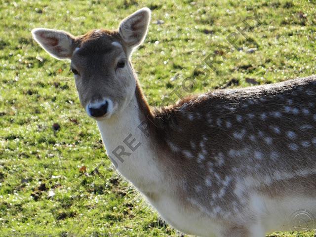 Image of a fallow deer