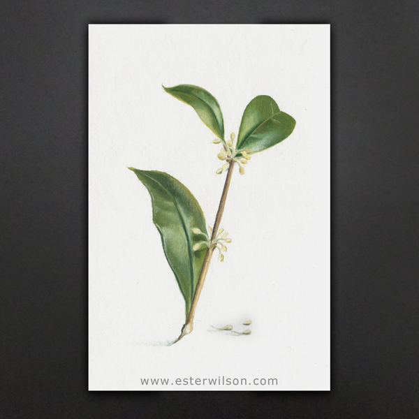 Painting of a Tea Olive branch 4x6