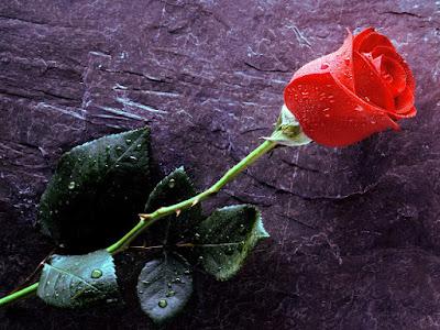 red rose wallpaper from wallpaperpik.com