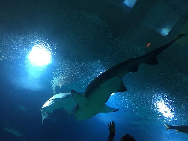 Oceanarium Valencia, rekiny
