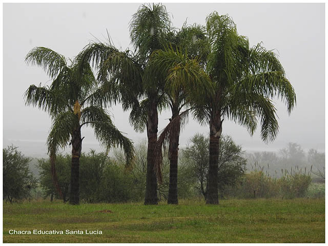 Palmeras Pindó  bajo lluvia  Chacra Educativa Santa Lucía