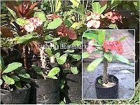 Euphorbia Pink