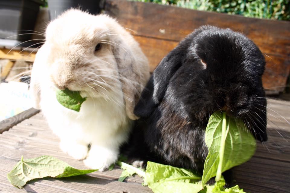 Baloo et Bidibulle couple de lapins béliers