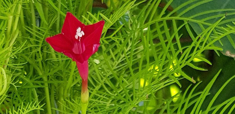 ดอกของต้นคอนสวรรค์