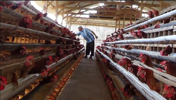 Cara Beternak Ayam Petelur rumahan bagi pemula - Beternak