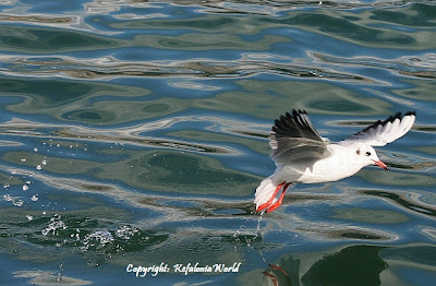 Kefalonia seagull
