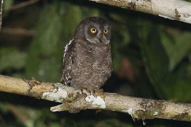 Celepuk Biak, Biak Island Scops Owl (Otus beccarii)