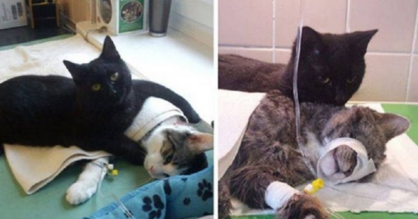 A black cat has become a nurse who takes care of the animals and treats them
