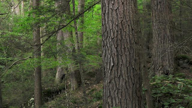 400-year-old eastern hemlock forest