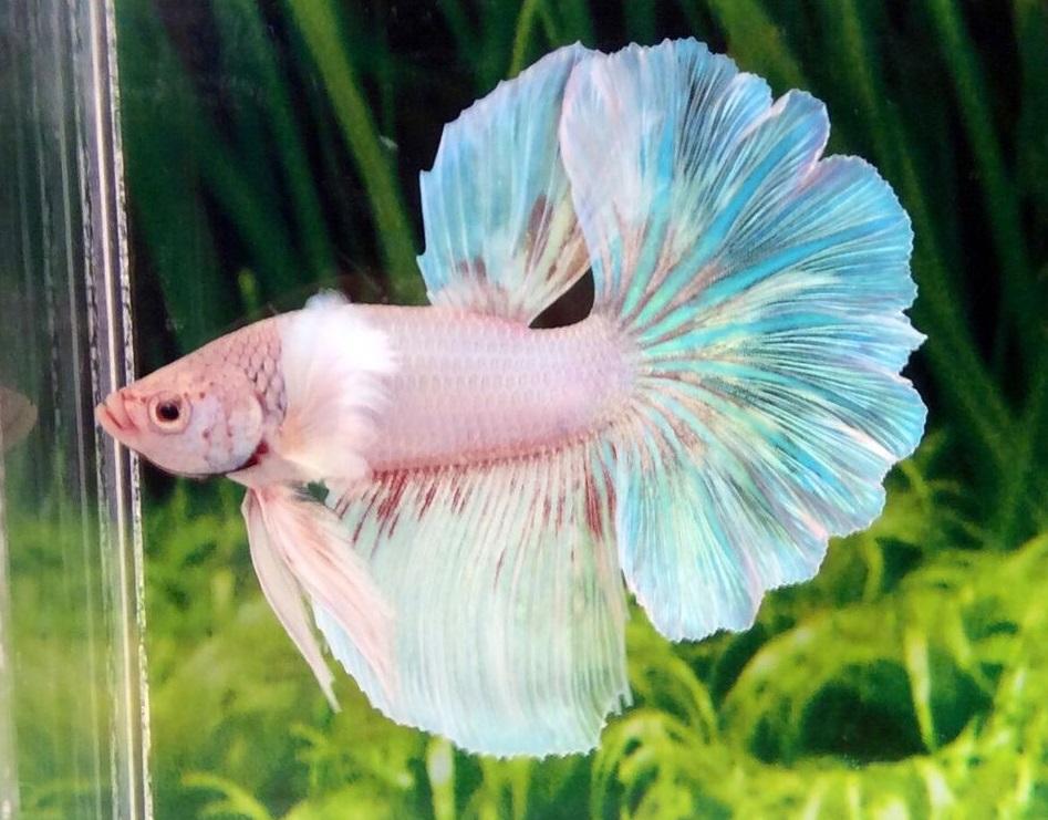 Ikan Cupang Opaque atau Pastel Betta - ikanhiasku.net