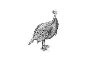 Click on the graceful Turkey to view video