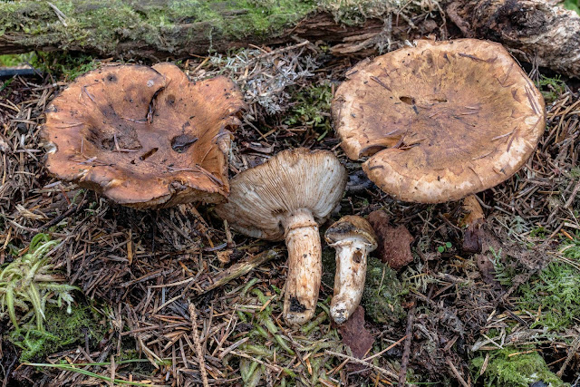Provosional identification of Tricholoma focale in Glamorgan
