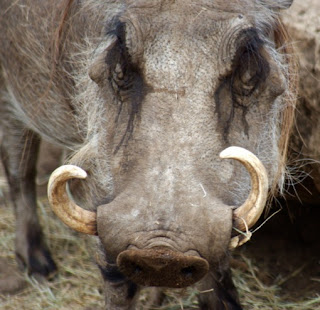 The warthog's large tusks are two upper tusks emerge from the sides of the snout to form a semicircle; the lower tusks, at the base of the uppers, are worn to a sharp-cutting edge
