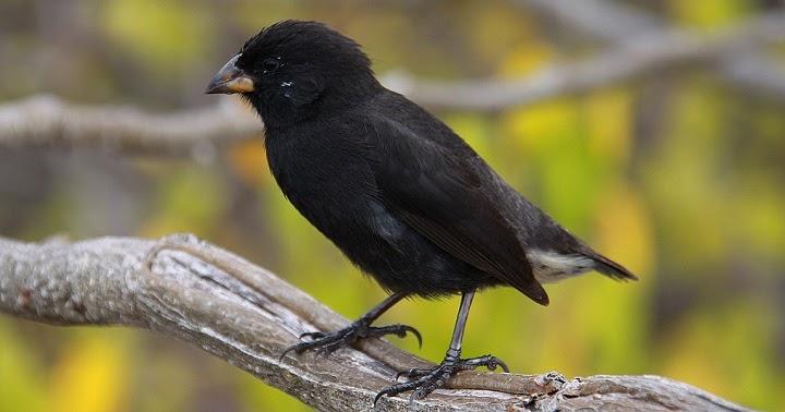apa yang dimaksud burung kutilang darwin  belajar sampai