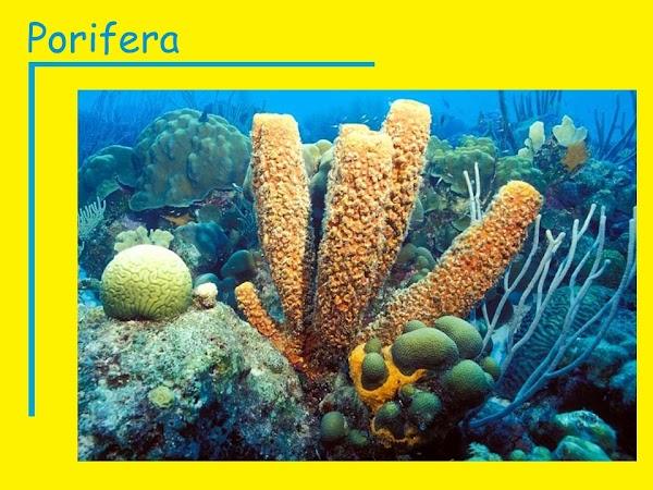 Ciri-Ciri dan Contoh Porifera Lengkap (Invertebrata) - Sebutkan Apa