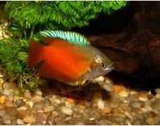 Ikan Hias Gurami Madu (Honey gourami) terindah