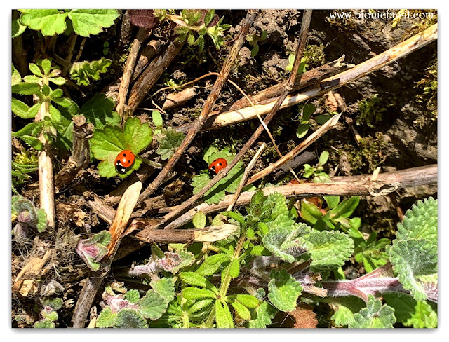 Ladybirds ©BionicBasil® The Pet Parade 345