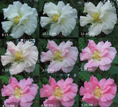 Pokok Bunga Laki Pukul Bini