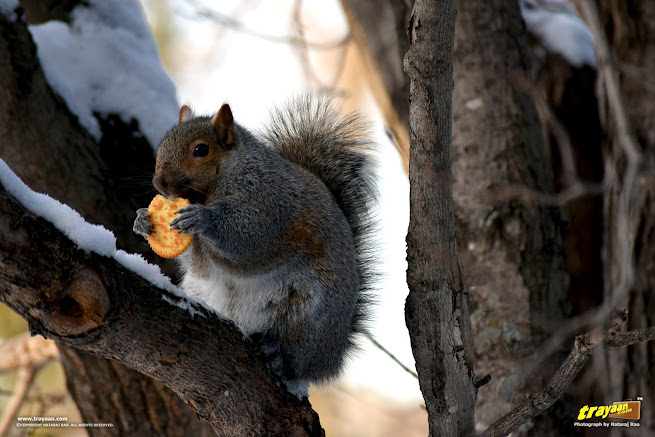 Eastern Gray Squirrel in Minnesota, having a cracker