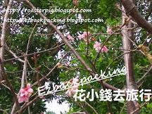 香港櫻花+賞櫻好去處+開花情報