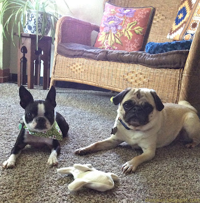 Pug and Boston terrier with dog toys