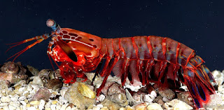 mantis shrimp have quickest punch