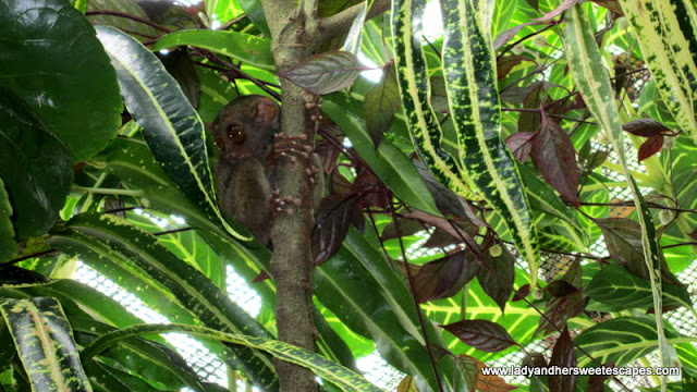Tarsier in our Bohol Countryside Tour